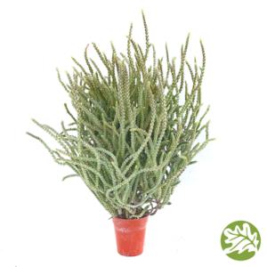 "CRASSULA Princess Pine Mini 1.75"" pot #3713"
